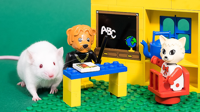 A lab rat next to a lego set