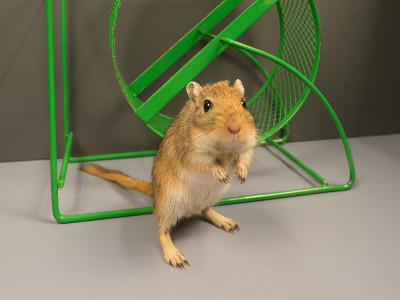 A gerbil in front of its wheel